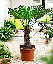 Seltene Trachycarpus Wagnerianus Hanfpalme bis 110