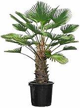 Seltene Trachycarpus Wagnerianus Hanfpalme bis 120