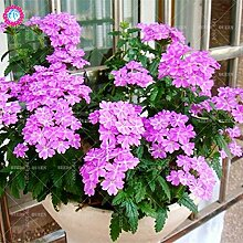 Seltene Variety! 100 PC / bag Verbene hybride Samen Staude Pflanze vergossen Haus & Garten 95% Keimungrate Bonsai Blume 2