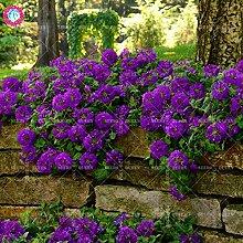 Seltene Variety! 100 PC / bag Verbene hybride Samen Staude Pflanze vergossen Haus & Garten 95% Keimungrate Bonsai Blume 1