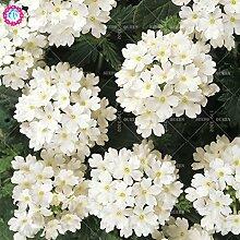Seltene Variety! 100 PC / bag Verbene hybride Samen Staude Pflanze vergossen Haus & Garten 95% Keimungrate Bonsai Blume 5