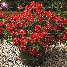 Seltene Variety! 100 PC / bag Verbene hybride Samen Staude Pflanze vergossen Haus & Garten 95% Keimungrate Bonsai Blume 6