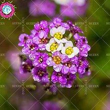 Seltene Variety! 100pcs / bag süß alyssum Samen Staude Pflanze 95% Keimungrate Bonsai Blume Haus & Garten Hof eingetopft 1