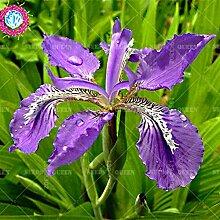 Seltene Vielfalt! 50 PC / bag Chinesische Iris Samen Staude Pflanze vergossen Haus & Garten Hof 95% Keimungrate Bonsai Blume 1