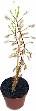 seltener Sonnentau - Drosera Madagascariensis -