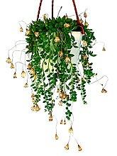 SENECIO HERREIANUS Perlenkette, echte Pflanze