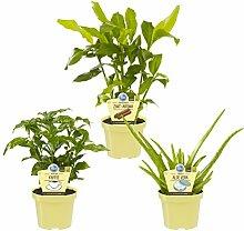 Set Bio - Pflanzen Aloe vera + Kaffee + Zimt -