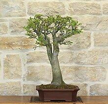 Shishigashira Maple bonsai tree (5)