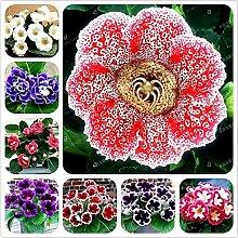 Shoopy Star 50 Samen/pack Hausgarten Pflanze