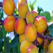 Shoopy Star Aprikosenbaum-Samen