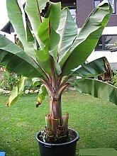Shoopy Star BANANE - Abessinier Banane 10 Samen