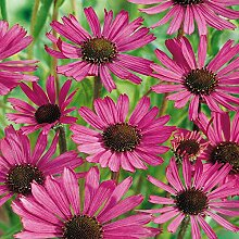 Shop Meeko 12 s: Echinacea purpurea Purpur Star -