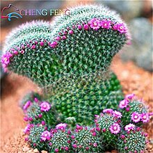 Shopmeeko 100 stücke Exotische Kaktuspflanzen