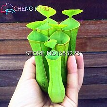 Shopmeeko 100 stücke Lila Kannenpflanze
