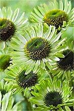 Shopmeeko 120 Stück-Seltene Japan Echinacea