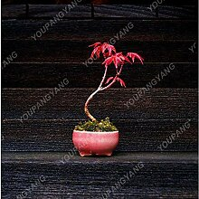 Shopmeeko 20 Ahornpflanzen Roter Ahornbaum