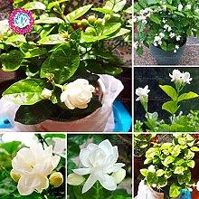 Shopmeeko 20 stücke jasmin pflanze bonsai