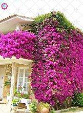 Shopmeeko Samen: 20pcs Garten Kletterpflanzen