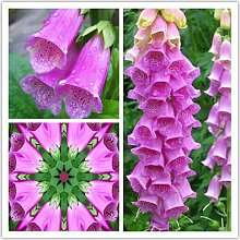Shopmeeko Samen: Blumen Fingerhut, Fingerhut