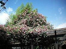 Shopmeeko Samen: Hibiskusblüten Bonsais,