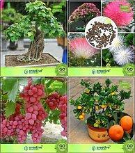 ShopMeeko SEED Bonsai Seeds: Air Purifying Bonsai