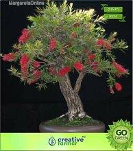 ShopMeeko SEED Callistemon lanceolatus Seed (20
