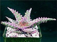 ShopMeeko SEEDS: 150 Stück Aloe Vera Bonsai