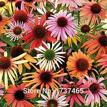 Shopmeeko SEEDS: 50pcs / lot Echinacea x hybrida &