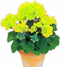 Shopmeeko Seeds: Best-Selling 100pcs / bag Geranie