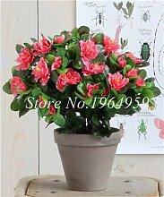 ShopMeeko SEEDS: Bonsai 50 PC Seltene Bonsai