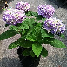 Shopmeeko SEEDS: Common Hydrangea Bonsai, Balkon