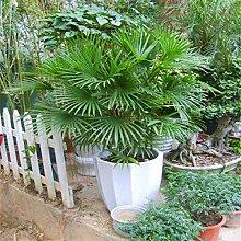 Shopmeeko SEEDS: Ein Pack 5 Stück Palm Bambus