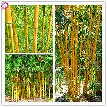 Shopmeeko Seeds: Seltene Qualität Bambuspflanze