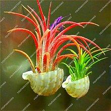 Shopmeeko Youpangpang Luftpflanze bonsai 100