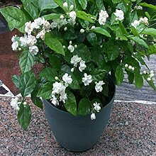 Shoppy Star: Jasmin Pflanze 25 Samen