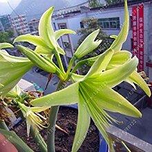Shopvise 12 Amaryllis-Samen, Hippeastrum-Blumen,