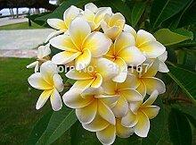 Shopvise 30 Stücke Samen Plumeria Hawaiian