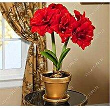 Shopvise 7 Amaryllis-Samen, Hippeastrum-Blumen,