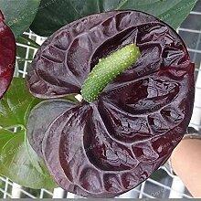 Shopvise Anthurium Blumensamen Für Hausgarten 100