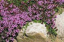 Shopvise Blume Creeping Thymian oder Blue Rock