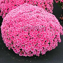 Shopvise Chrysanthemum Bonsai Samen Blume für