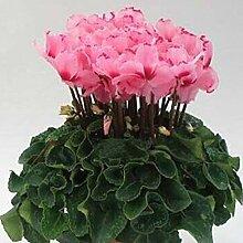 Shopvise Cyclamen Blumensamen 100Pcs
