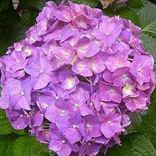 Shopvise Hydrangea Blumensamen 20Pcs