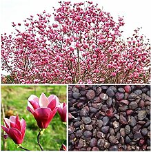 Shopvise Magnolienbaum-Blumensamen, mehrjährige