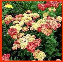 Shopvise Schafgarbe Blumensamen 100Pcs / Packung;