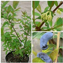 Sibirische Blaubeere, Myberry Sweet, Lonicera kamtschatica, viel Vitamin C, ca. 40-60 cm,3,5 L Topf