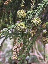 Sicheltanne Cryptomeria japonica Pflanze 15-20cm