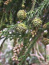 Sicheltanne Cryptomeria japonica Pflanze 25-30cm