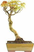 Silber-Ahorn, Bonsai, 15 Jahre, 54cm