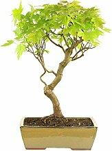 Silber-Ahorn, Bonsai, 15 Jahre, 56cm